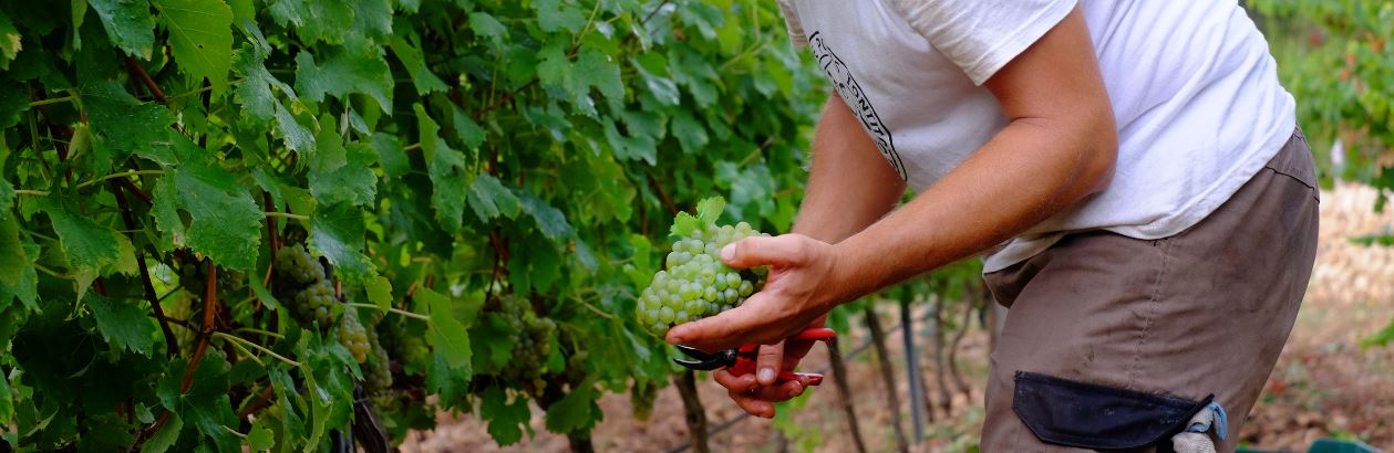 """The harvest began at the wine cellar """"Son Vich de Superna"""" from which the 2018's vintage will emerge."""
