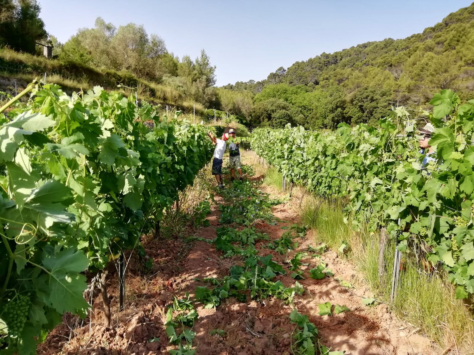 Viticulture, green pruning